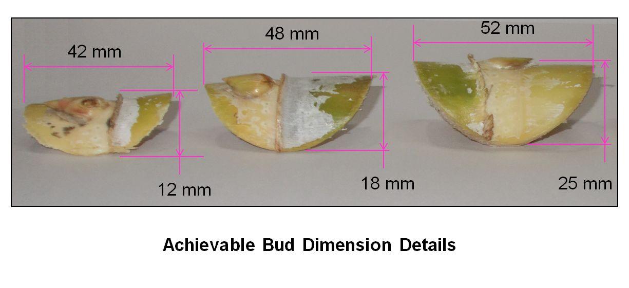 SCBC Bud Size